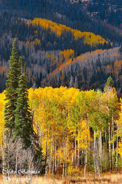 Fall Aspen Colors Near Steamboat Springs, CO