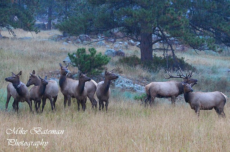 Bull Elk and His Harem of Cows Rocky Mountain National Park (RMNP)