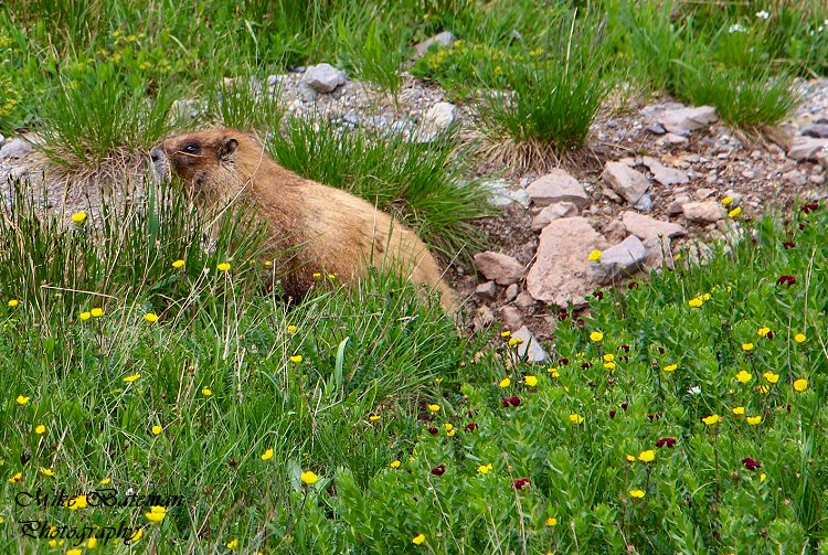 Yellow Bellied Marmot Trail Ridge Road Rocky Mountain National Park (RMNP)